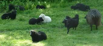 het witte schaap